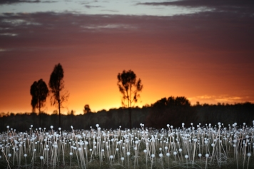 Field of Light Uluru - Orange Sky